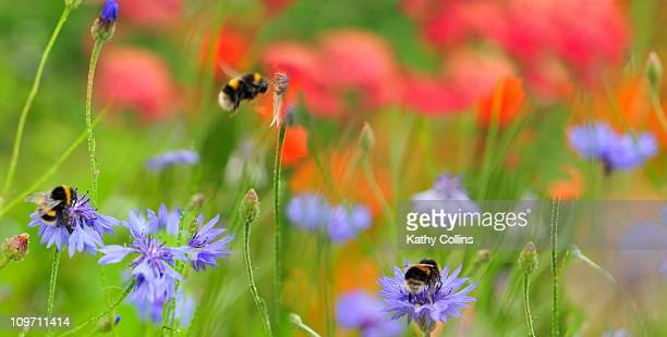 Bumblebees collecting pollen from meadow flowers
