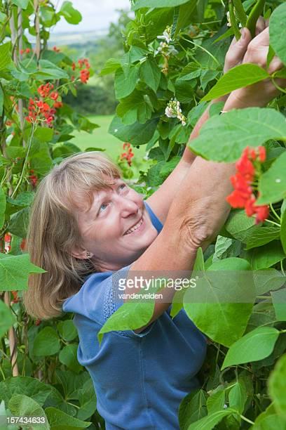 bumper runner bean harvest - bush bean stock photos and pictures