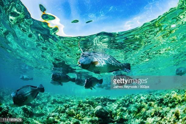 bumphead parrotfish at the surface - isla de borneo fotografías e imágenes de stock