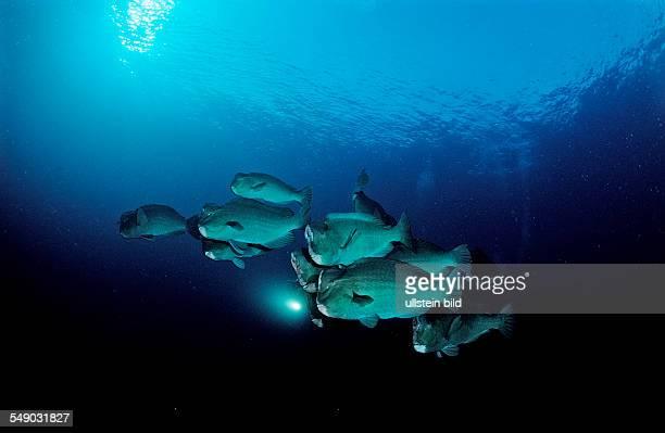 Bumphead parrotfishes and scuba diver, Bolbometopon muricatum, Bali, Indian Ocean, Indonesia