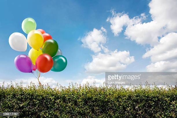 Bunch of balloons behind hedge