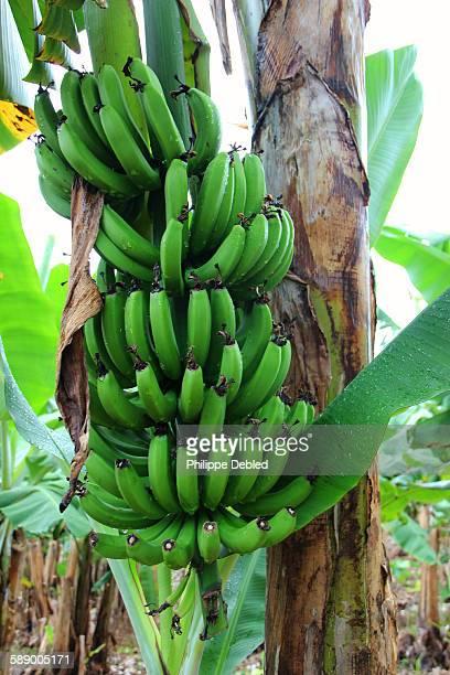 Bunch of bananas on banana tree,Corupá,Brazil
