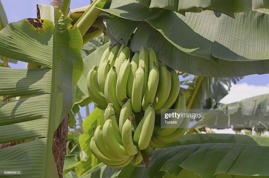 Racimo de plátanos en el árbol : Foto de stock