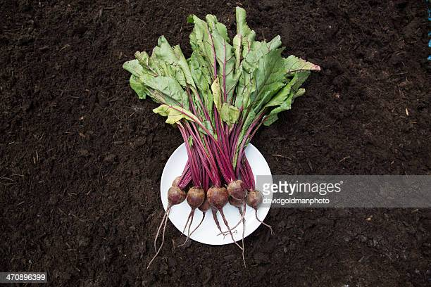 bunch of beetroot on plate laid on soil - chatham new york state stock pictures, royalty-free photos & images