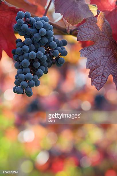 a bunch of black grapes hanging from a tree - cabernet sauvignon grape stock photos and pictures