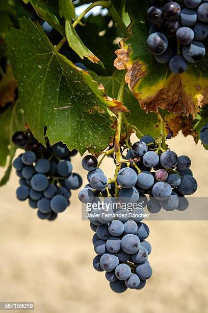 Bunch of black grapes on the vine