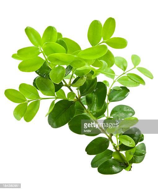 """Paar Buchsbaum """"twigs"""""""