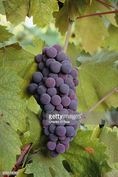 bunch of cabernet sauvignon grapes on vine - cabernet sauvignon grape stock photos and pictures
