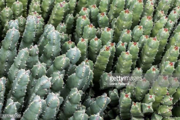bunch of cacti in two shades of green - dorte fjalland fotografías e imágenes de stock