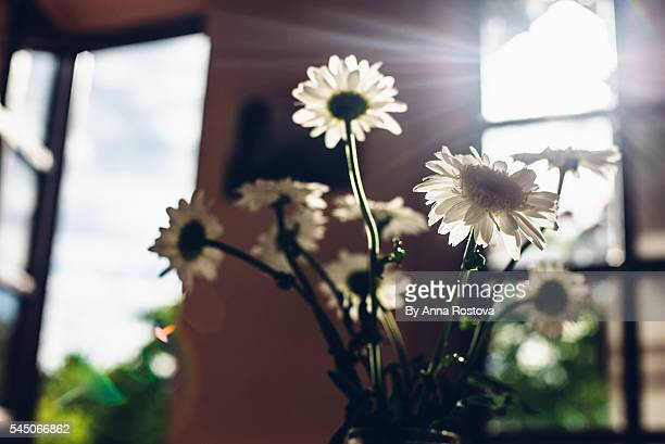 Bunch of camomile flowers in glass vase near window with ray of light come through it