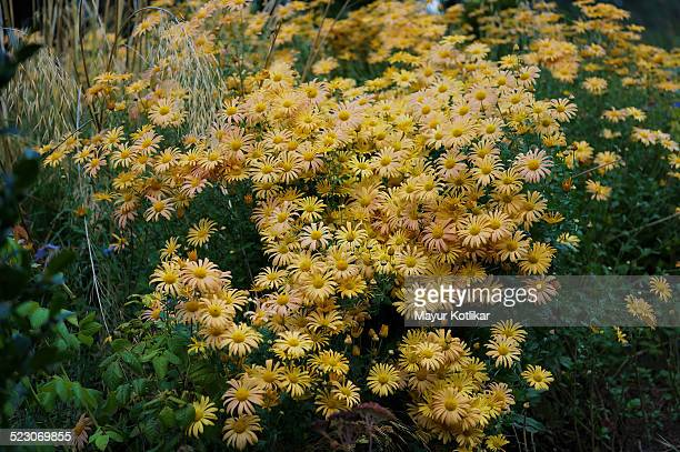 bunch of chrysanthemum 'mary stoker' flowers - chrysanthemum stock pictures, royalty-free photos & images
