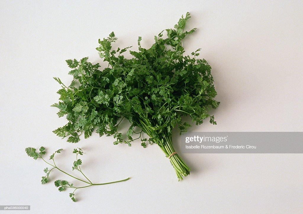 Bunch of cilantro, white background : Stockfoto