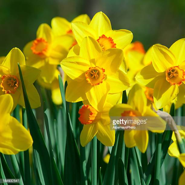Bunch of daffodils, Narcissus 'Orangery' cultivar - II