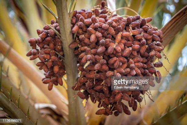 bunch of dates - date palm tree stock pictures, royalty-free photos & images