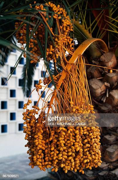 Bunch of dates Tunisia