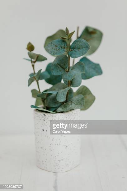 bunch of eucalyptus branches with fresh leaves in vase - ユーカリの木 ストックフォトと画像