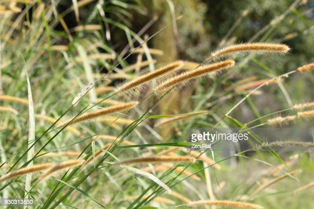 bunch of fountain grass (pennisetum) growing in the wild - uncultivated stock pictures, royalty-free photos & images