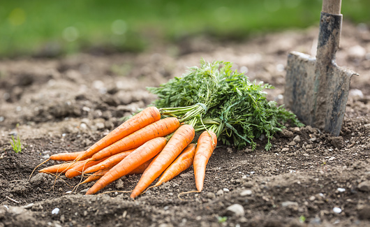 Bunch of fresh carrots freely lying on soil in garden 1148552652