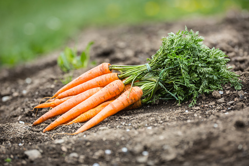 Bunch of fresh carrots freely lying on soil in garden 1148552664