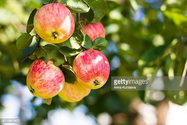 Bunch of fresh yellow and pink apples on the apple tree in a summer garden, selective focus
