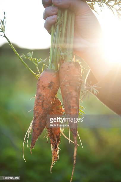 bunch of freshly dug-up carrots - root vegetable stock pictures, royalty-free photos & images