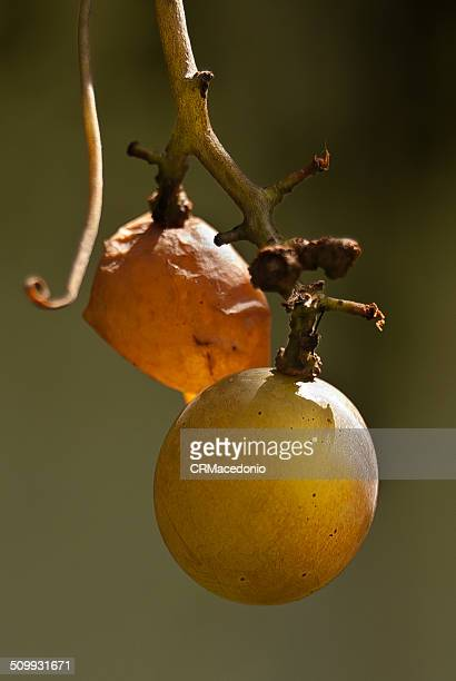 bunch of grape - crmacedonio stock pictures, royalty-free photos & images