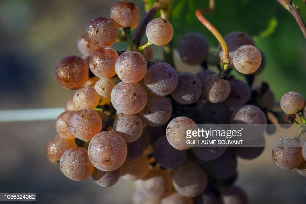 Bunch of grapes are seen during the first harvest in the vineyards of Chambord castle on September 19 2018 Between 1518 and 1519 François Ier brought...