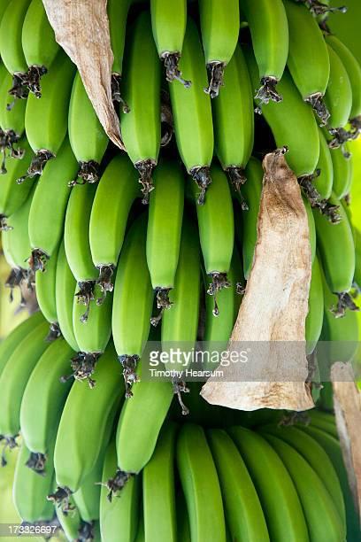 bunch of green bananas hanging at a roadside stand - timothy hearsum bildbanksfoton och bilder