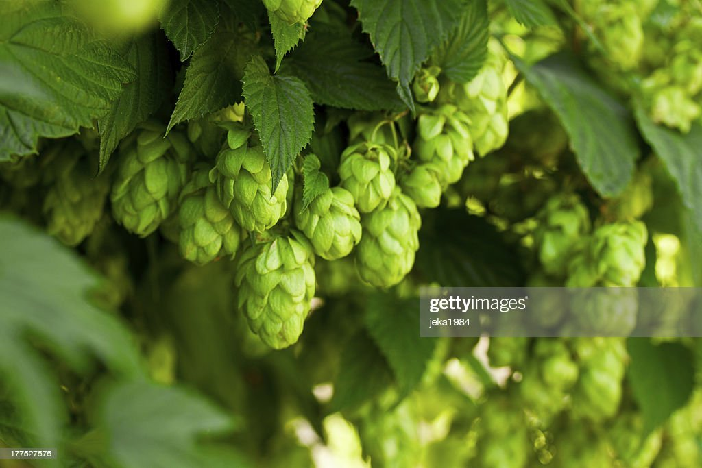 A bunch of green hops on a tree : Stock Photo
