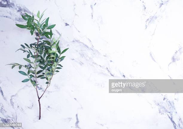 bunch of greenery boxwood twigs on marble background - bottes bigarrées photos et images de collection