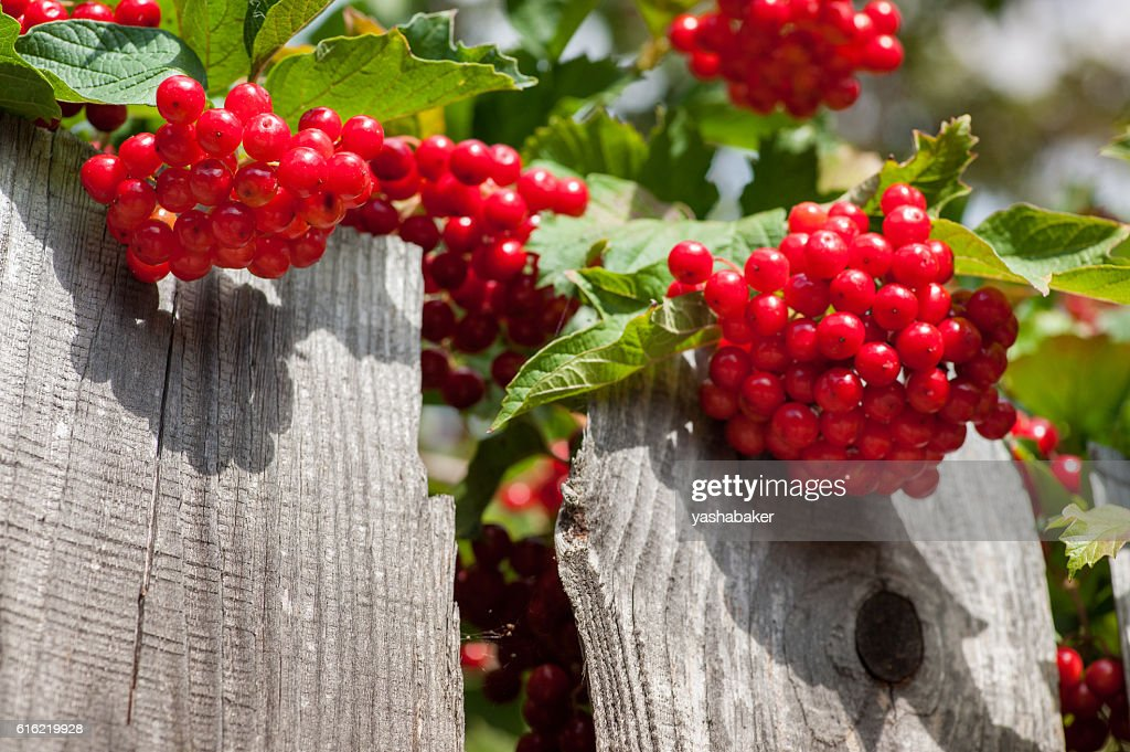 Bunch of guelder-rose berries on wooden fence : Foto stock