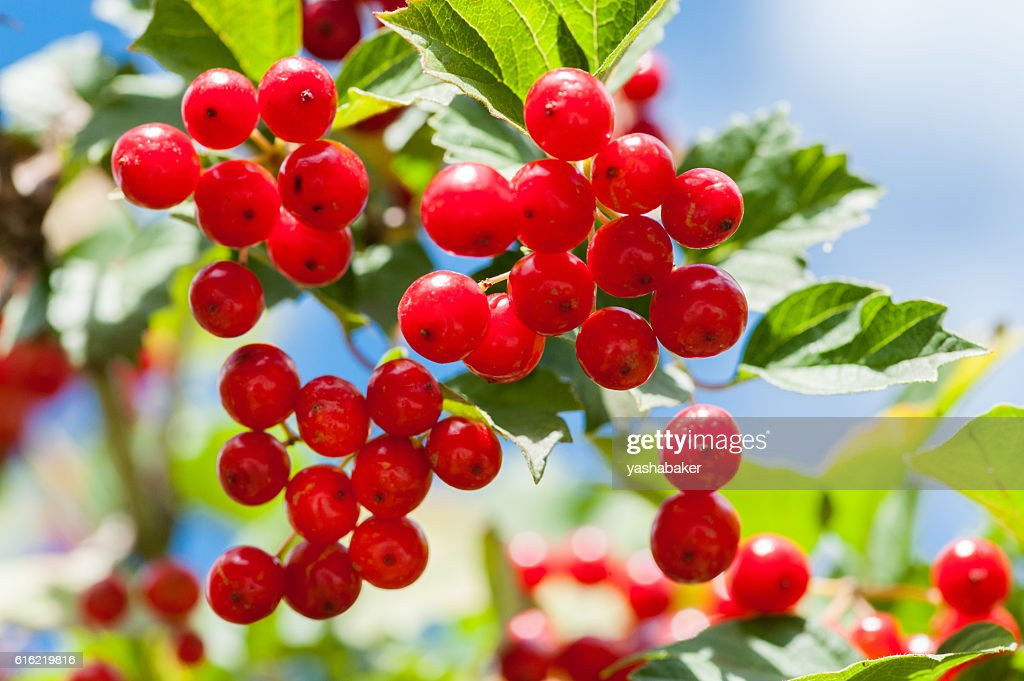 Bunch of guelder-rose berries outdoors : ストックフォト