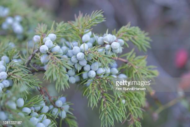 bunch of juniper berries on a green branch in autumn - finn bjurvoll stock pictures, royalty-free photos & images