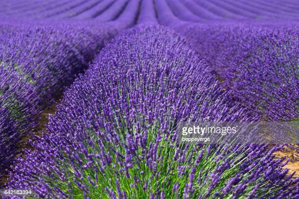 bunch of lavender seen up close