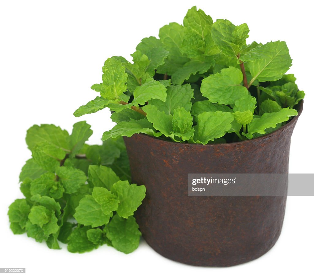 Bunch of mint leaves in a mortar : Stock Photo