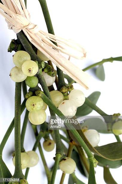 bunch of misteltoe - what color are the berries of the mistletoe plant stock photos and pictures