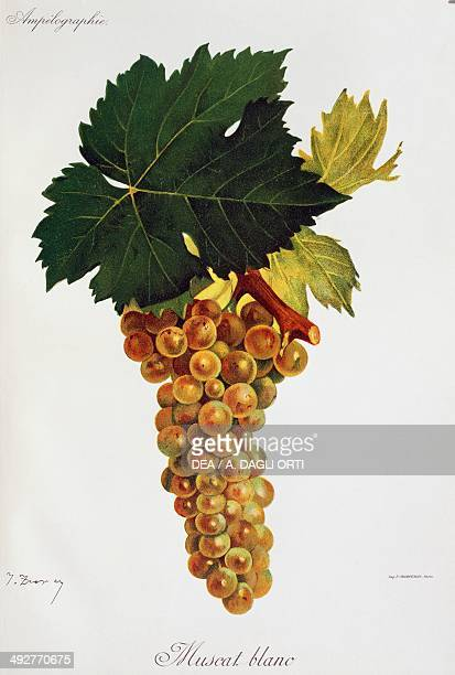Bunch of Moscato white grapes illustration by Jules Troncy from Ampelographie Traite general de viticulture vol III by Pierre Viala and Victor...