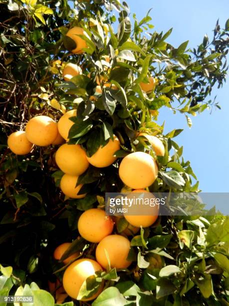 a bunch of oranges on orange tree, against sky, ripe - orange grove stock photos and pictures