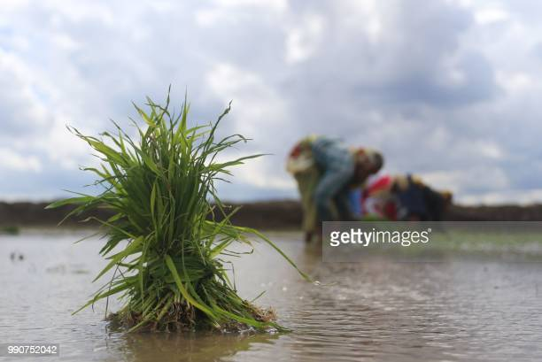 A bunch of paddy saplings sits in water as Indian farm workers plant paddy in a field on the outskirts of Bhopal on July 3 2018