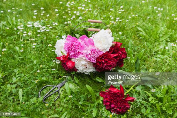 Bunch of peonies in wire basket and scissors on a meadow