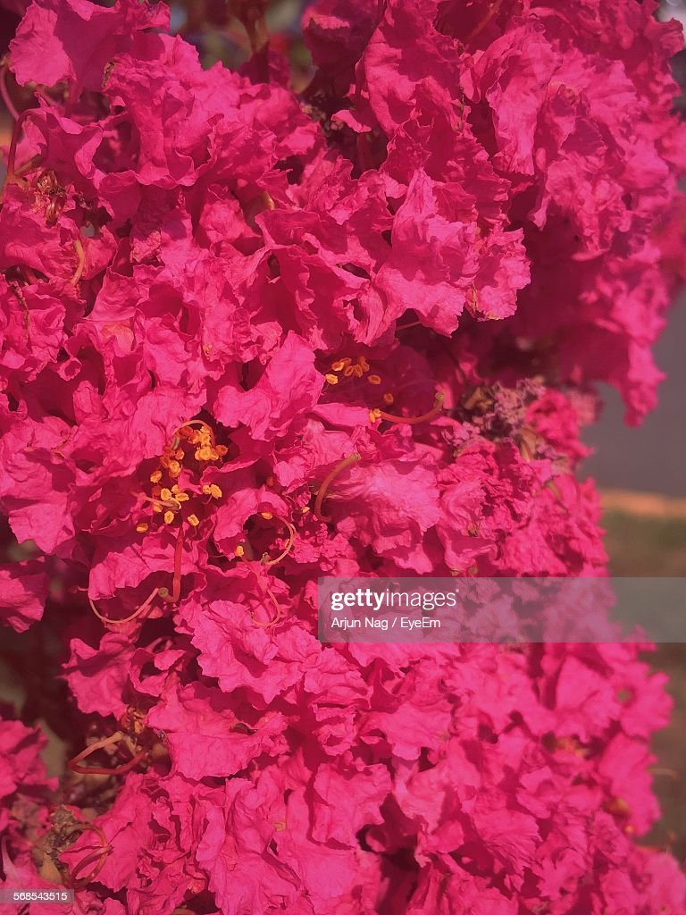 Bunch Of Pink Flowers Blooming Outdoors : Stock Photo