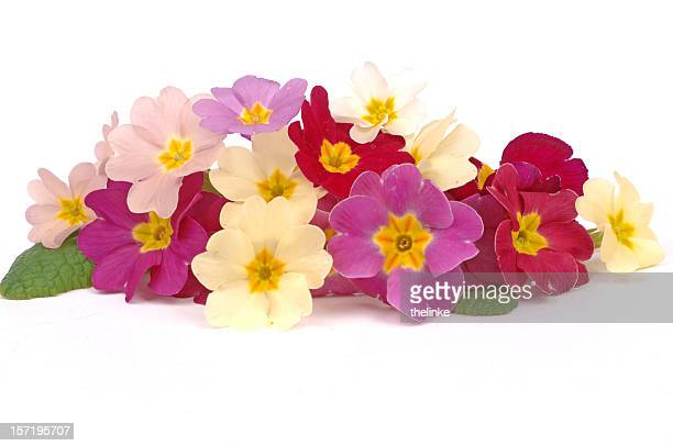 Bunch of primroses