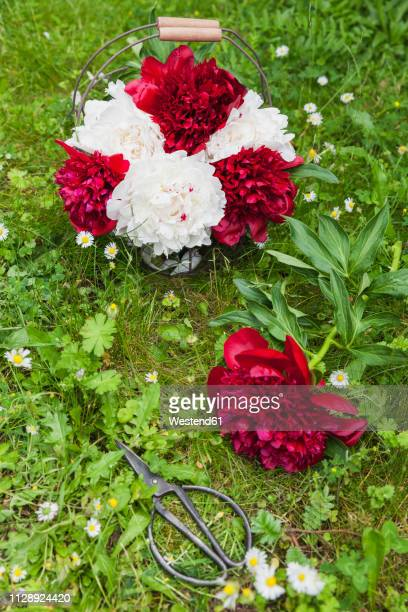 Bunch of red and white peonies in wire basket and scissors on a meadow
