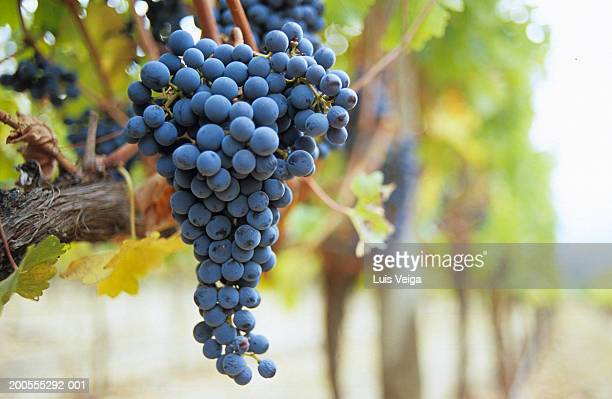 Bunch of red grapes on vine, close-up