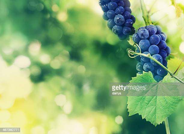 Bunch of red grapes on vineyard.
