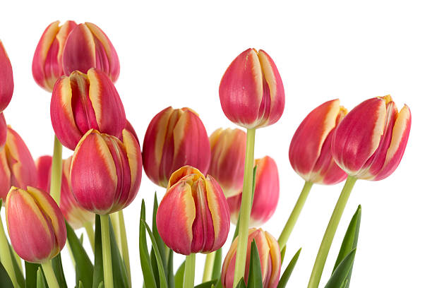 Free single flower white background images pictures and royalty bunch of red tulips on a white background voltagebd Gallery