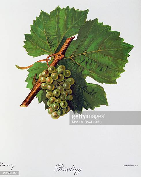 Bunch of Riesling grapes illustration by Jules Troncy from Ampelographie Traite general de viticulture vol II by Pierre Viala and Victor Vermorel...