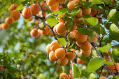 A bunch of ripe apricots hanging on a tree in the orchard. Apricot fruit tree with fruits and leaves. Ukraine.