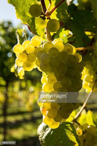 a bunch of sauvignon blanc grapes - gisborne stock photos and pictures