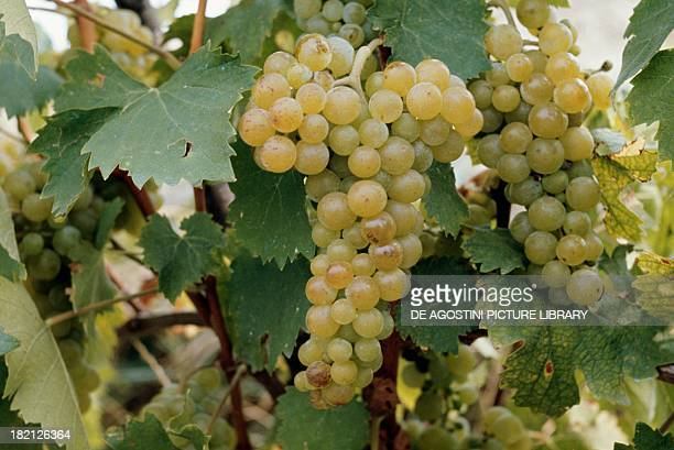Bunch of the Muscat grape